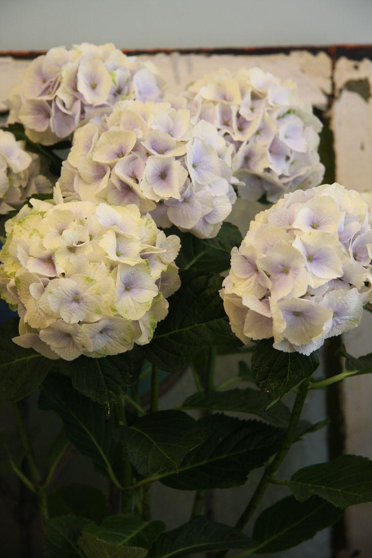hydrangea Magical Noblesse: Hydrangeas Th Romantic, Hydrangeas Magic