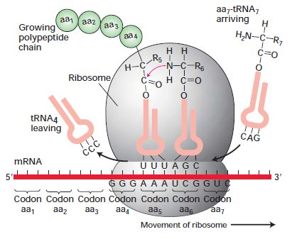 Ribosome complex in protein synthesis