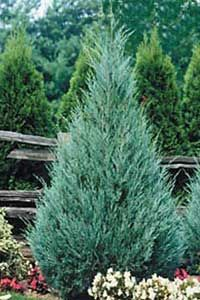 Wichita Blue Juniper gets 10-15' tall & 4-6' wide. This tree stays relatively narrow & pyramidal. The botanical name is Juniperus scopulorum & is also known as Rocky Mountain Juniper or Colorado Redcedar.  There are other similar cultivars such as the following: •Skyrocket - One of the most narrow. •Moonglow - silver blue foliage and very broad •Medora - nice blue-green foliage but a slower grower