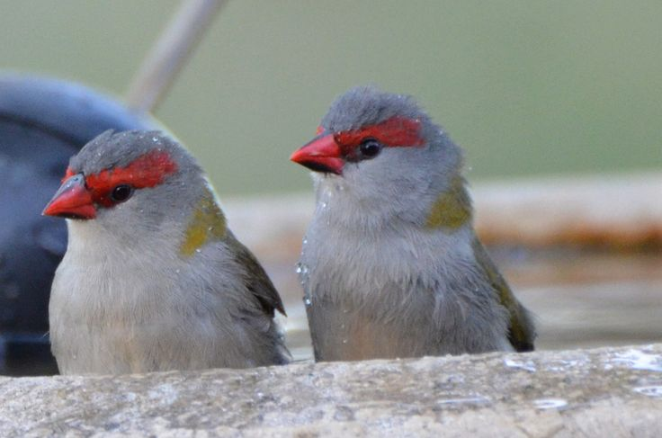 Cute litte Red-browed Finches (Neochmia Temporalis)