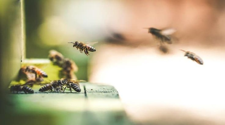 How To Treat Bee Stings  -  Bees are some of most the feared animals for the simple reason that they sting. Check out this article for tips on how to treat bee stings. #gardening #beestings