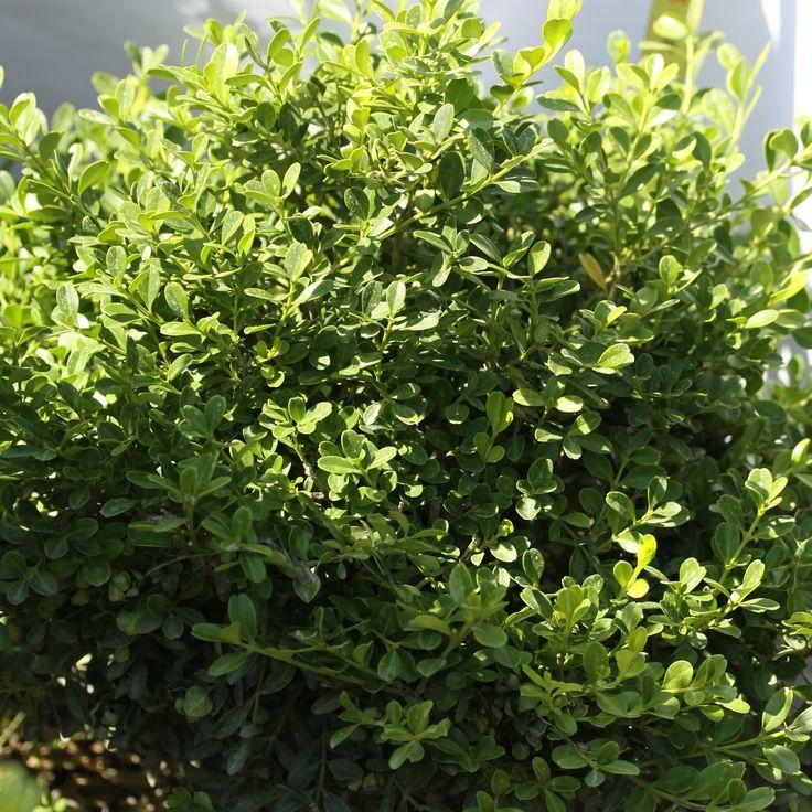 Buxus harlandii