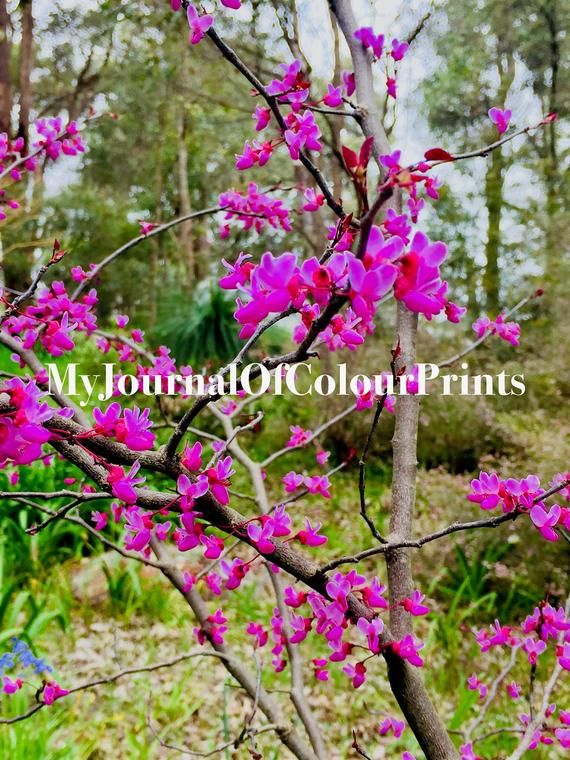 This Listing Is For An Original Print Of A Beautiful Cherry Blossom Plant Taken In Perth Australia By A Budding T Floral Prints Original Prints Cherry Blossom
