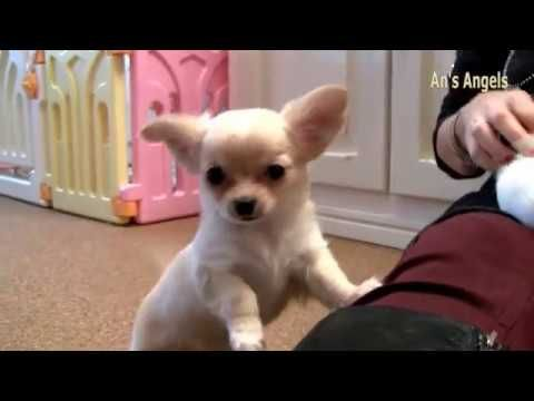 An S Angels Video Van Vier Puppy Reuen Te Koop Youtube