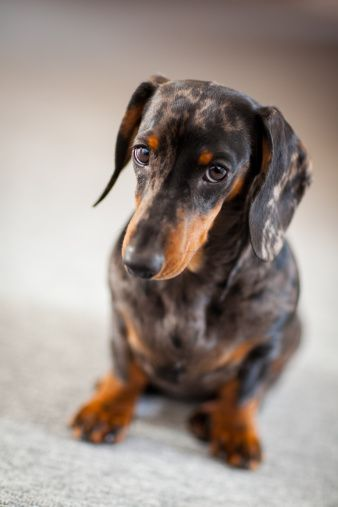Great looking dapple. doxie