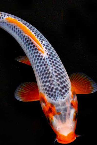 KOI: KOI For Ponds - KOI For Sale - Pond Supplies - KOI Fish For ...