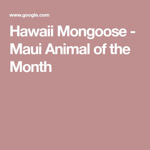 Hawaii Mongoose - Maui Animal of the Month