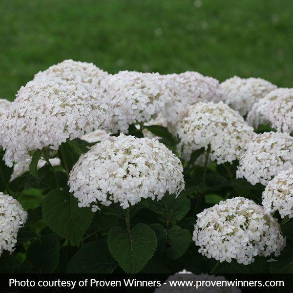 Invincibelle Wee White® Hydrangea blooms