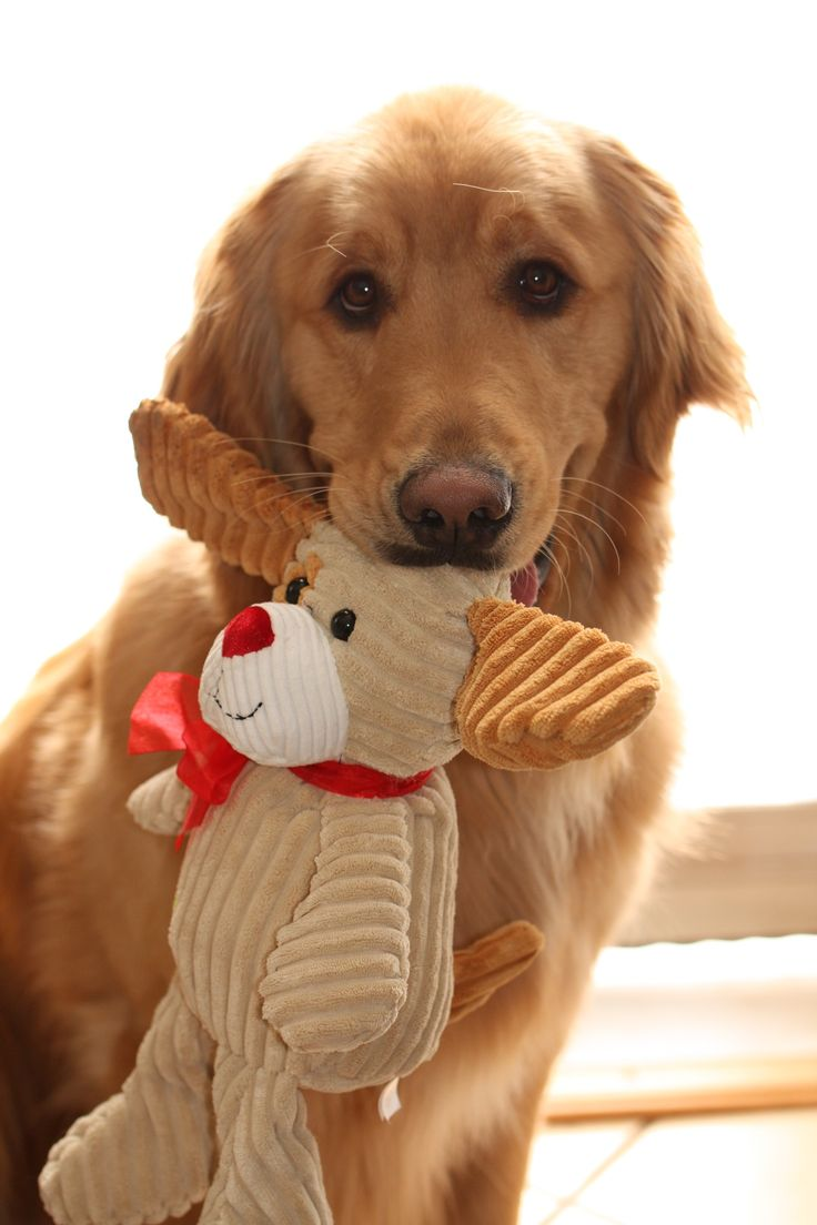 Best Golden Paws Images On Pinterest Golden Retrievers - Dog obsessed with stuffed santa toy gets to meet her idol in real life