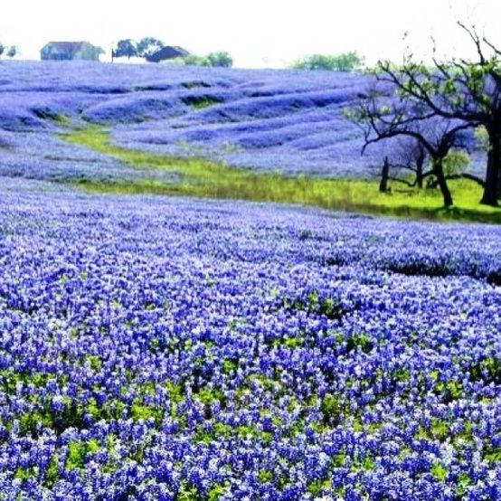 (This was close to what I had researched for the moor in Secret Garden) Oh, those Texas bluebonnets! by eliza