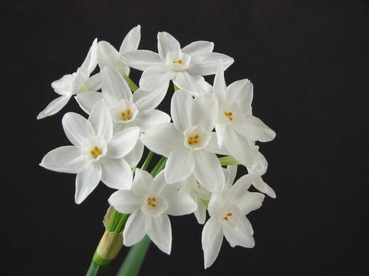 December birth flowers, the narcissus (paperwhite) and the holly