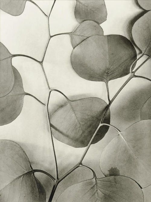 mondonoir: Alma Lavenson | Eucalyptus Leaves, 1933 Gelatin silver print, printed later by Jim Alinder