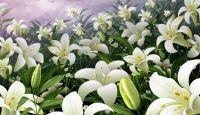 Fondos de Flores Blancas Para Fondo de Pantalla en HD en 19 fondos de pantalla de alta definición