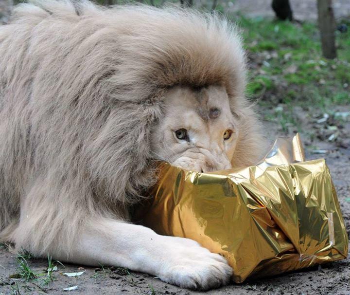 LA FLECHE, #Francia. Un león blanco disfruta de un filete de pollo que le entregaron en una envoltura de regalo. (AFP) #LeonBlanco #Navidad