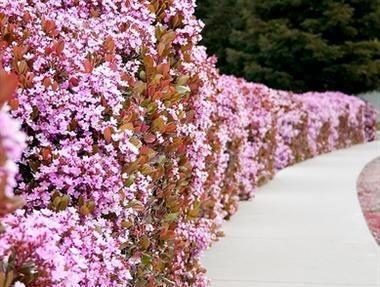 Pink Indian Hawthorne Rhaphiolepis Indica Garden