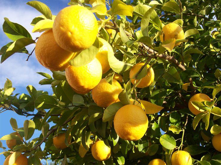 huile essentielle de citron callosités, la peau fendillée, les cors Mélange 3 goutte essence citron pour 1 c s huile coco masse callosité 2 fois jour jusqu'à estompe lessive Incorpore 15 goutte huile essentiel citron dans tambour machine laver votre linge désodorisé désinfecté