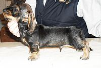 Miniature Dachshund Puppies for Sale from Miniature Dachshund breeders, Australia.