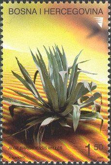 Flora - Cactus - Aloe barbadensis Miller