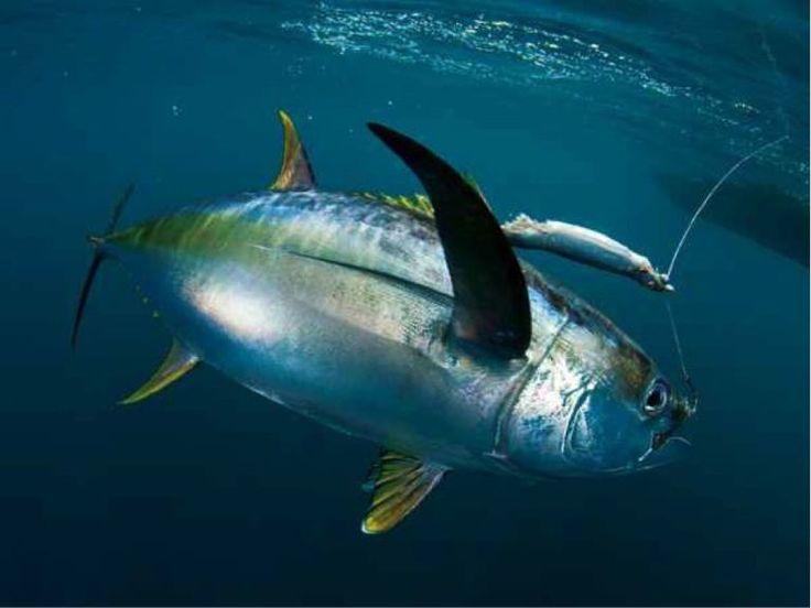 With the Bismarck and Archipelago Seas surrounding PNG, ocean fishing is also fantastic with huge underwater predators such as Marlin, Dog Tooth Tuna, Yellow Fin Tuna, Sailfish and plenty more waiting to meet their match. https://gudmundurfridriksson.wordpress.com/2015/08/26/hooked-on-fishing-in-papua-new-guinea/