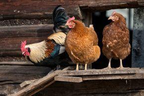 Hühnerstall Bauanleitung, was man beachten sollte.