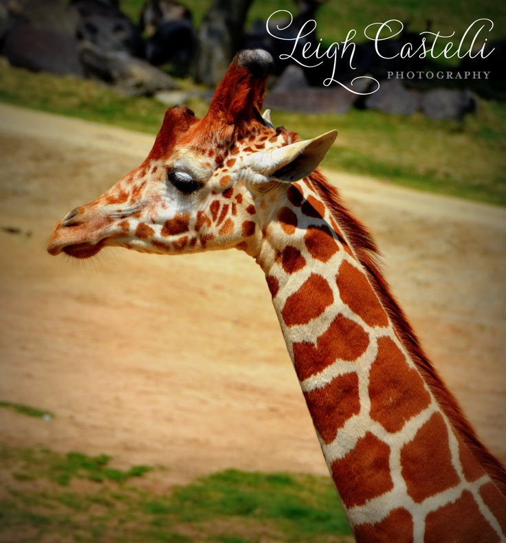 Giraffe pic