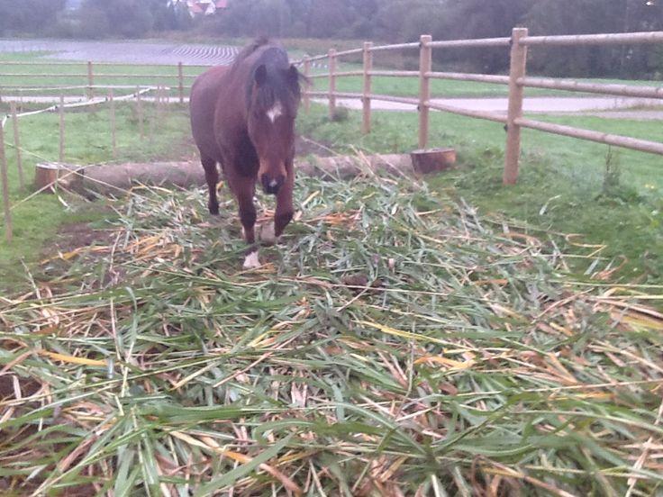Schilf versus Matsch : natürlich, kostengünstig, nachhaltig ! Schlade-Ranch/www.wir-bewegen-pferde.de