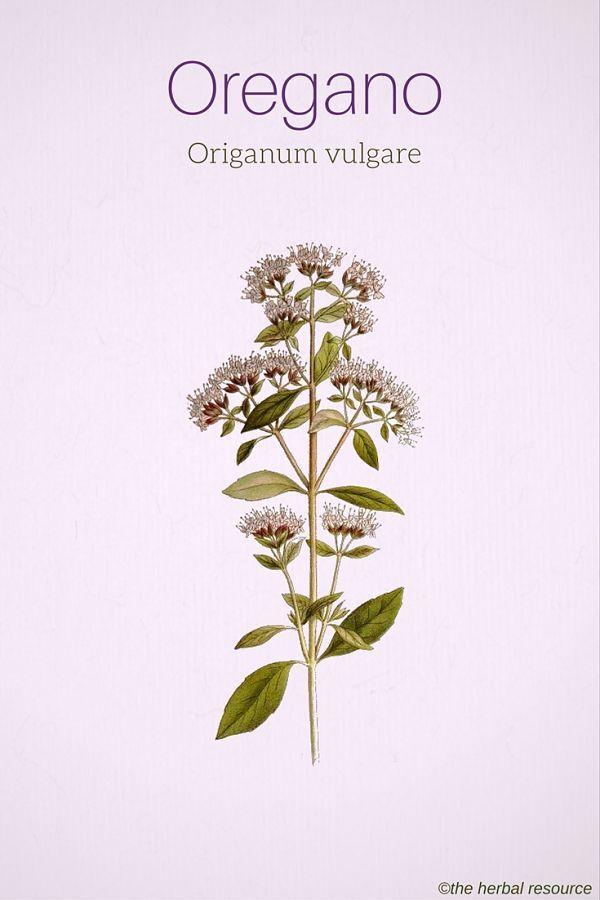 Oregano Origanum vulgare