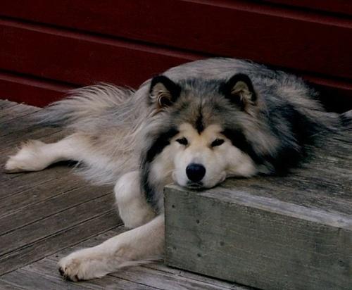 1000+ ideas about Giant Alaskan Malamute on Pinterest ...