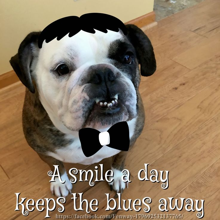 bulldog jokes 1000 images about bulldog funny on pinterest bulldog 4637