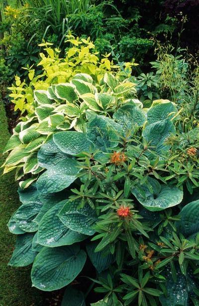 Hosta sieboldiana 'Elegans'  and fortunei 'Albomarginata' with Euphorbia 'Dixter' and golden Philadelphus