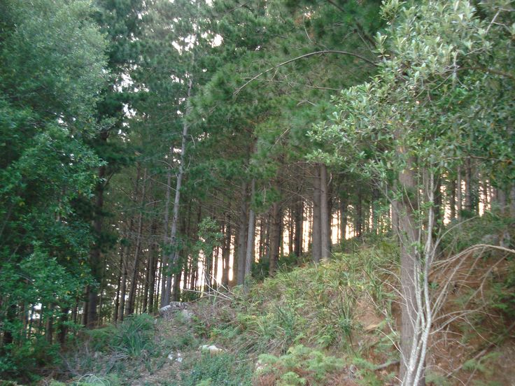 Old Pine and Gum tree plantation.