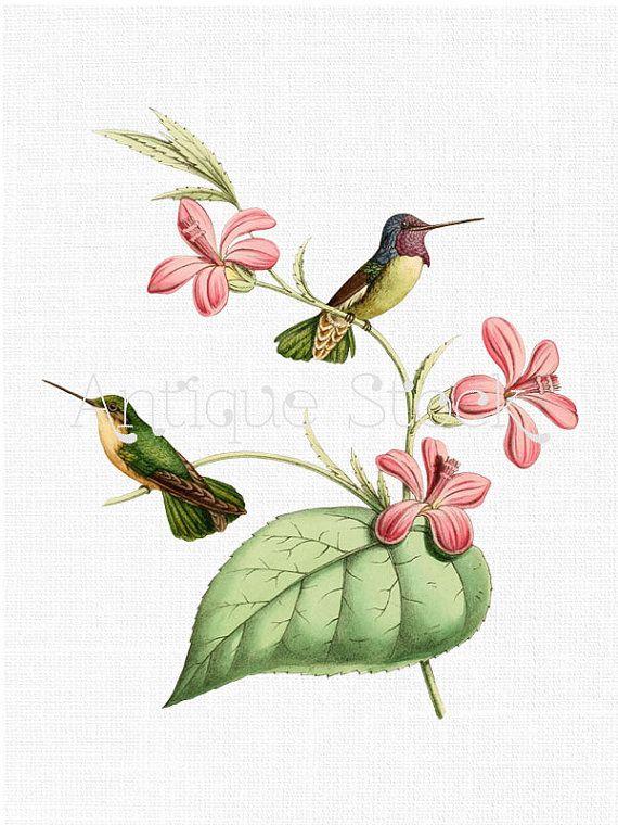 hummingbird illustration
