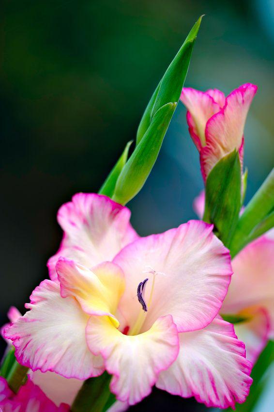 27d034568e9df Gladiolus Flower Photos on Pinterest Chrysanthemum Tattoo, Gladiolus ...