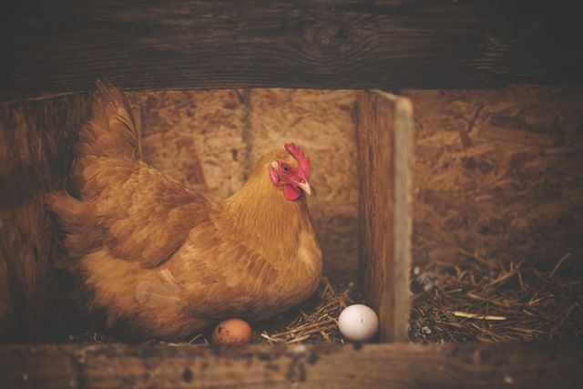 "How Animal Diet Affects Your Health: What Chickens Eat Impacts Eggs' Nutritional Value  ""Alfalfa meal and marigold - these are sources of lutein, a carotenoid pigment that helps maintain eye and skin health, and may help guard against some forms of cancer,"" the Nutrition Twins told us. ""Marigolds have been studied for their anti ... http://www.medicaldaily.com/how-animal-diet-affects-your-health-what-chickens-eat-impacts-eggs-nutritional-404970"