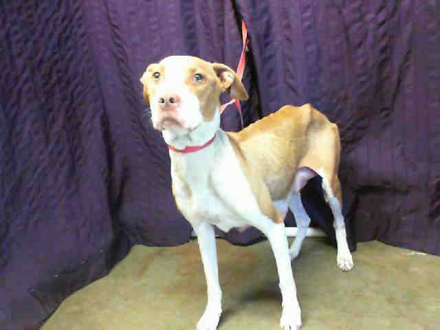 BABY GIRL - ID#A417204, says owners dropped her off, I hope charges are pressed, they used her for breeding and starved her, this is very wrong. My name is BABY GIRL, female, white and tan Pit Bull Terrier.I am about 2 years and 8 months old. I have been at the shelter since Jul 13, 2013. For more information about this animal, call: San Bernardino City Animal Control at (909) 384-1304 Ask for information about animal ID number A417204