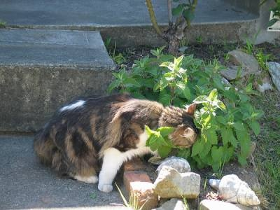 CATNIP TEA:    2 T fresh catnip .....  1 Cup hot water .....    Mix together - let steep until the water is green. Pour in bowl. Watch kitteh go crazy.