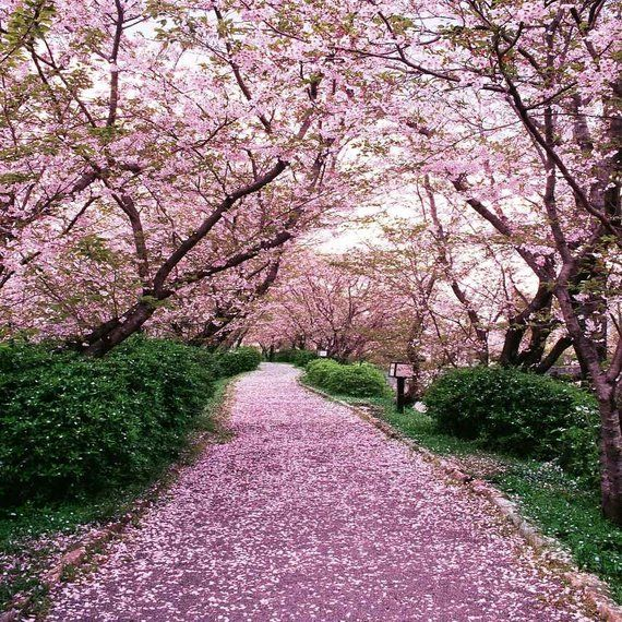 Sakura Tree Road 10ft X 10ft Backdrop Computer Printed Photography Background Xlx 252 Seni Rambut Dan Kecantikan Kecantikan