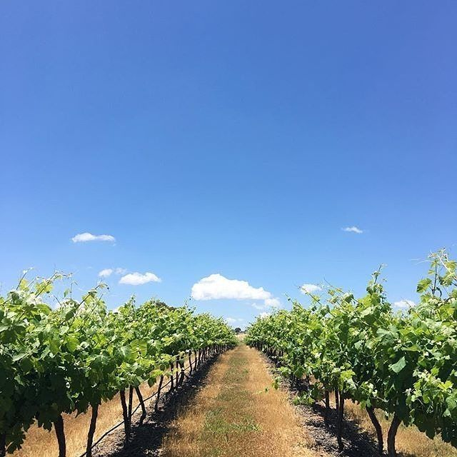 """Instagrammer @inkandleathers could not have asked for a more perfect day recently for the winery tour of the Canberra region. """"Snapped this shot at Gallagher Wines in Murrumbateman after sampling their delicious sparkling. I may have even come home with a cheeky tipple for later..."""" #visitcanberra #onegoodthingafteranother"""