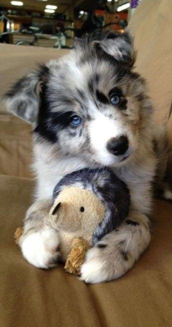 Soooooooooooooooooooooooo cute i wish I had this puppy – #australian #Cute #pupp… – Darcy