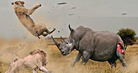 Resultado de imagen de rinocerontes en accion imagenes