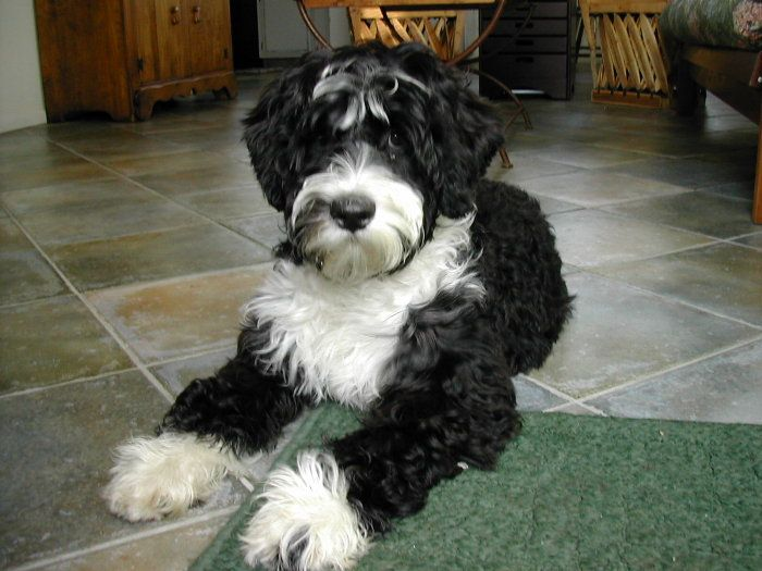 Portuguese Water Dogs...once you can house train them, and they stop chewing on everything...they are a good family member.