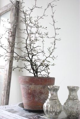 Bildresultat för växt corokia