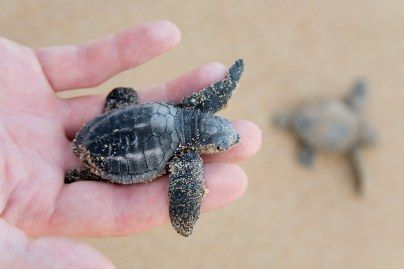 Visit the turtles at Mon Repos, Bargara.