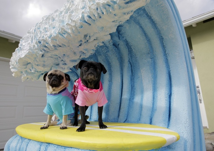 Surfing PugsSurf Up, Small Dogs, Silly Dogs, Dogs Costumes, Pets Halloween Costumes, Surf Pugs, Surfers Pugs, Pugs Life, Pet Halloween Costumes