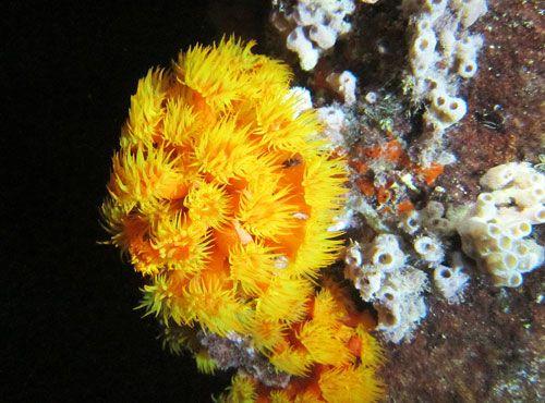 Orange Cup Coral Feeding At Night