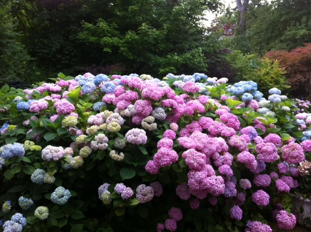 hidrangea/pancawarna
