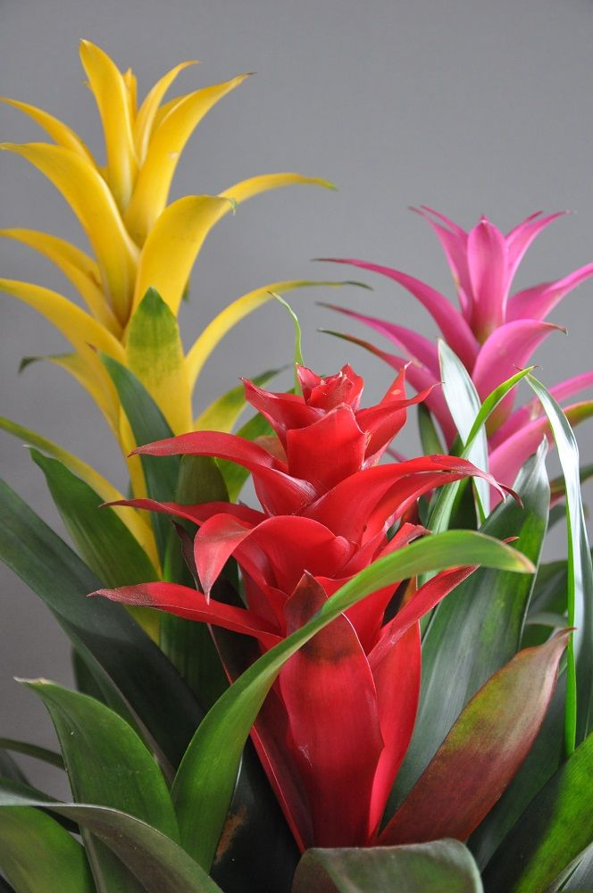 17 best ideas about tropical flowers on pinterest exotic flowers tropical plants and hawaiian - Indoor colorful plants ...