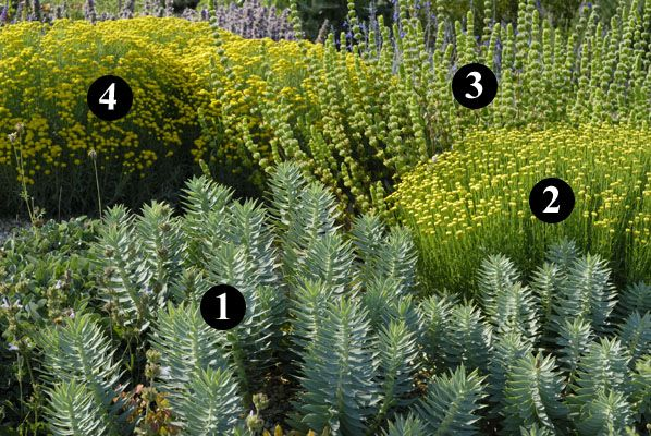 1. Euphorbia rigida 2. Santolina lindavica 3. Sideritis cypria 4. Santolina neapolitana 'Edward Bowles'