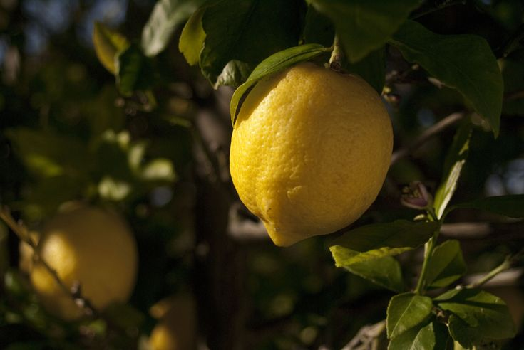 Here's what I did with 36 kgs of homegrown lemons... (story in Afrikaans)