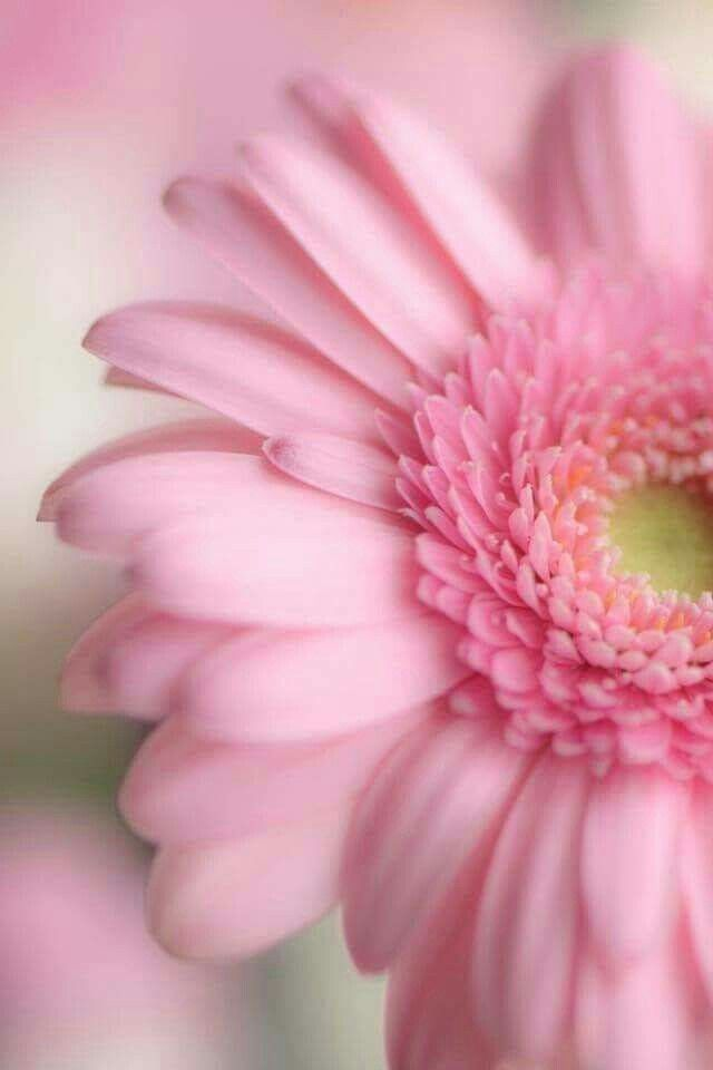 Pin By Mooiwatbloemendoen Nl On Gerbera Pink Flowers Flower